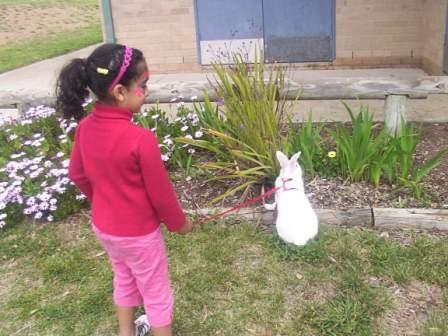 Chinchilla Giganta Rabbit Chinchilla Giganta