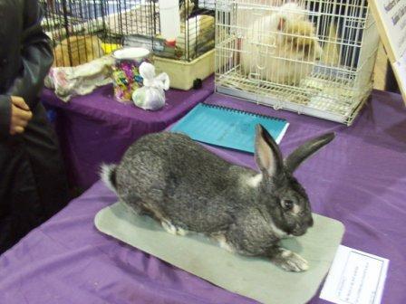 Chinchilla Giganta Rabbit Chinchilla Giganta Buck